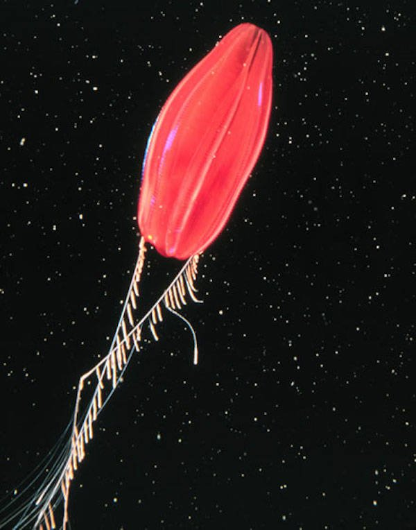 Tortugas Red Comb Jelly