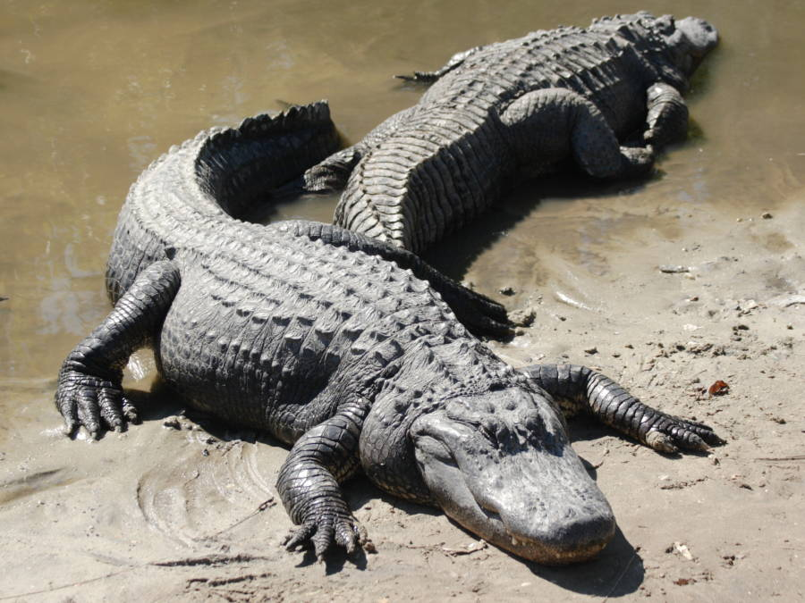 Two American Alligators