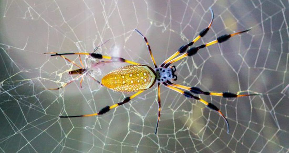 The Banana Spider's Golden Silk Is Actually A Natural Marvel