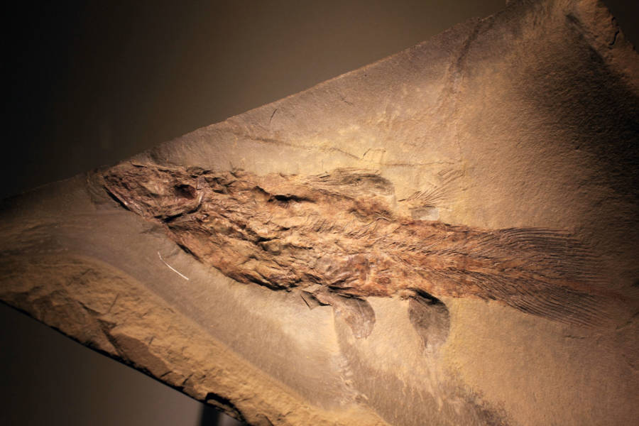 Ancient Coelacanth Fossil