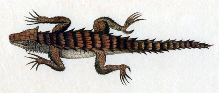 Ouroborus Cataphractus