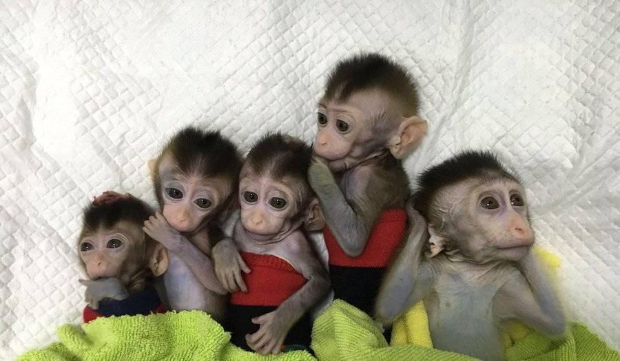 Baby Monkey Clones
