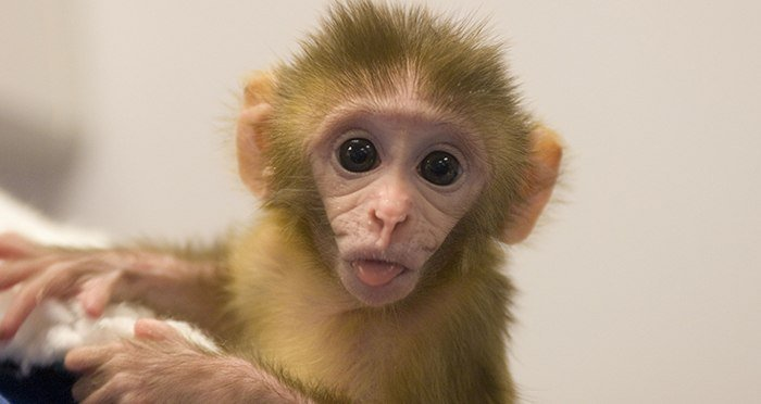 baby-rhesus-monkey-tongue-out-featured.jpg