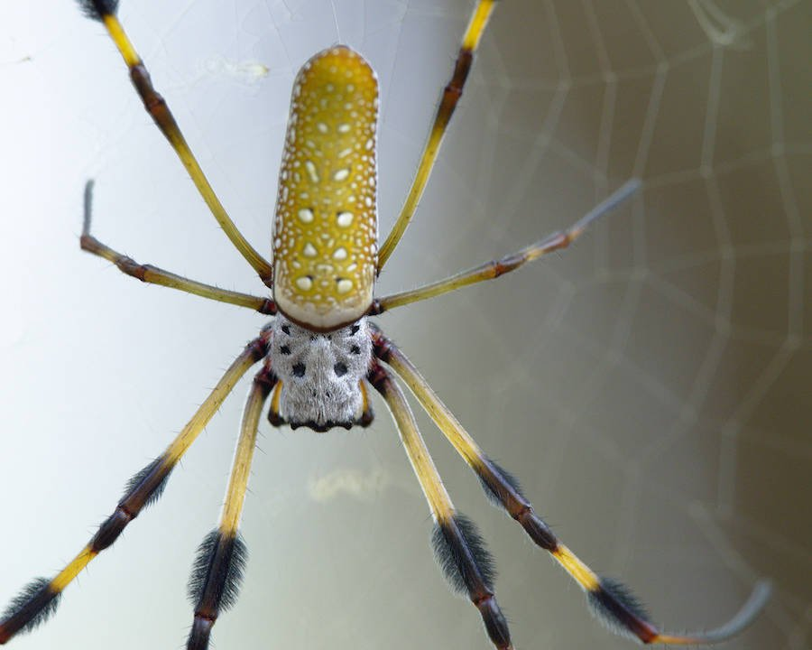 Golden Silk Orb-Weaver Web