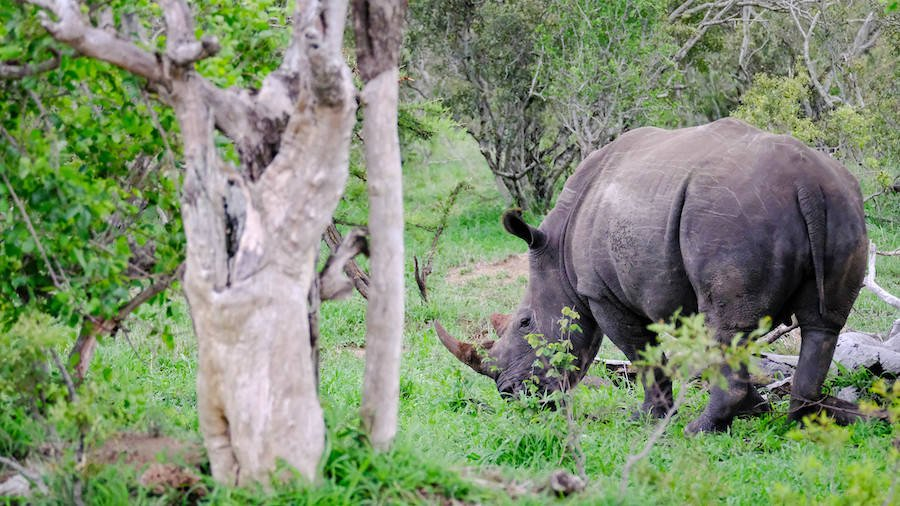 Black Rhino In South Africa Kruger Park