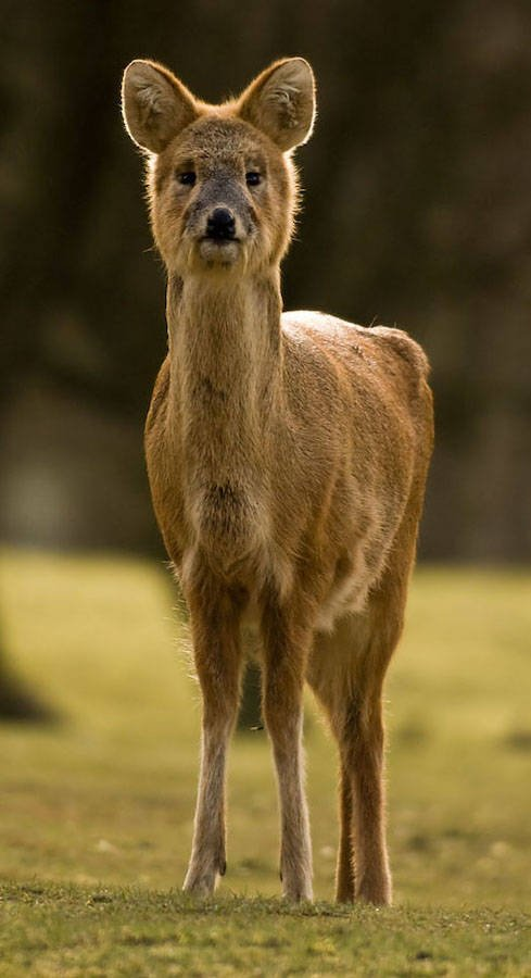 Chinese Water Deer Frontal View