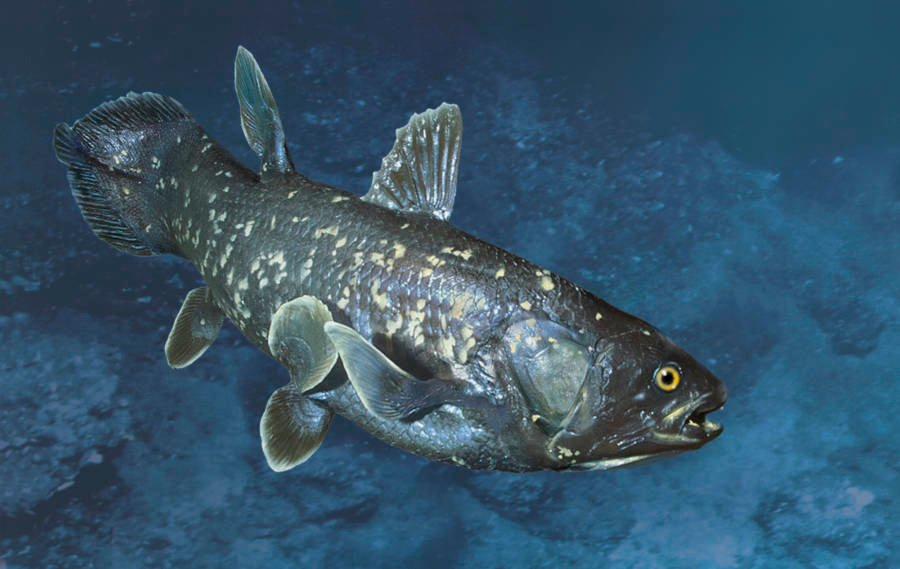 Coelacanth Full Color