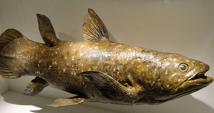 Coelacanth Model