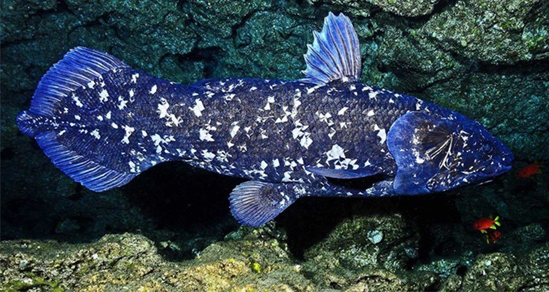 coelacanth-side-view-blue-featured.jpg