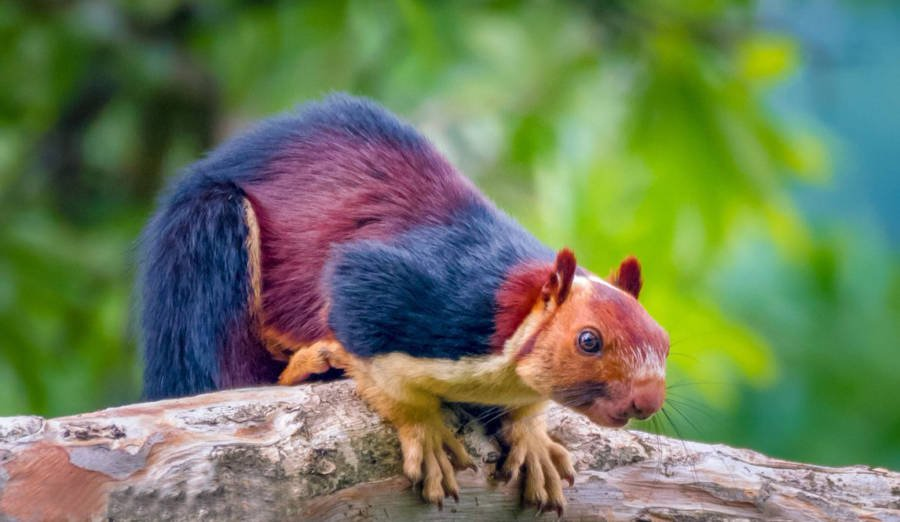 Colored Squirrel Crouched Branch