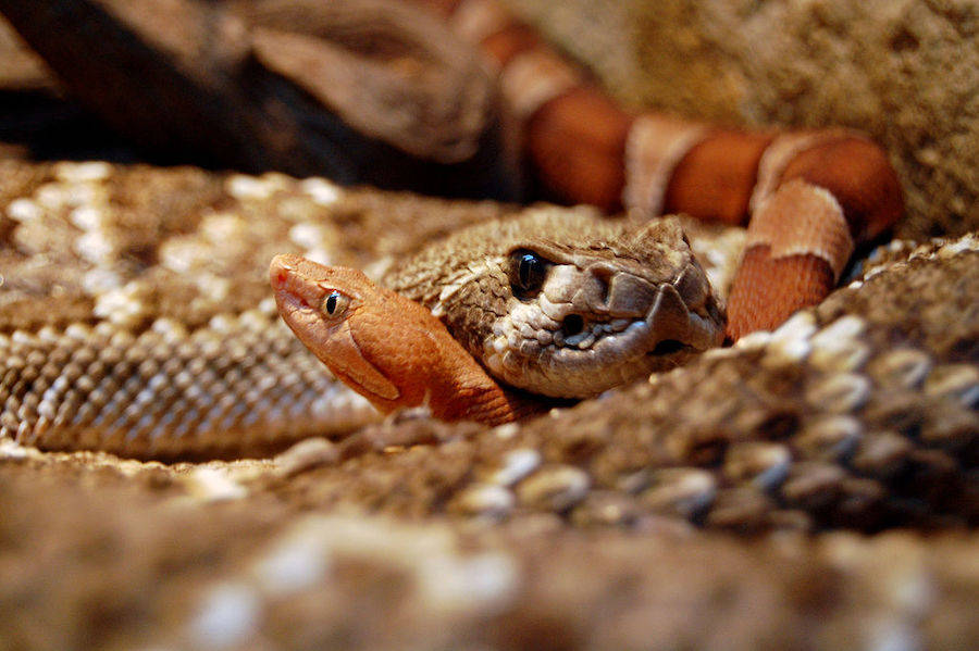 Rattlesnake Remains Inside Fossilized Poop Hints To Ancient Rituals