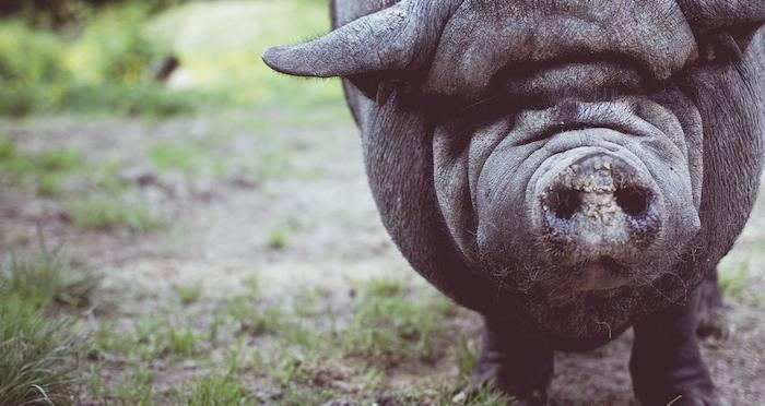 Scientists Restore Partial Brain Activity In Dead Pig Brains