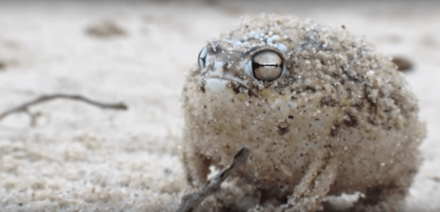 Desert Rain Frog Pouting In Sand