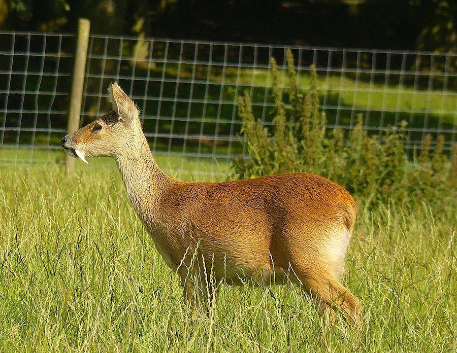 A Male Chinese Water Deer