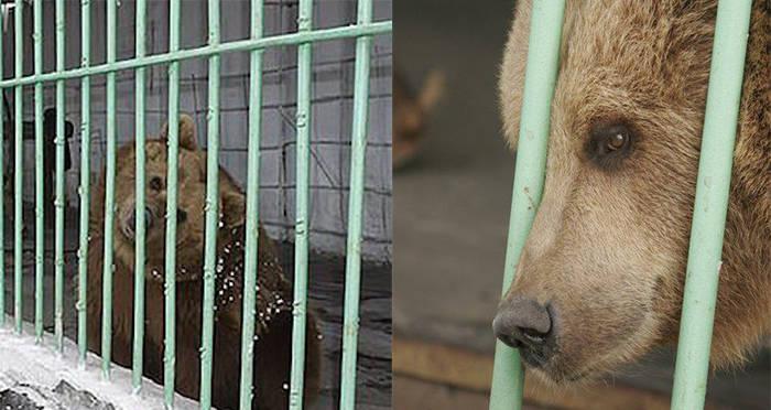 katya-brown-bear-in-cage-closeup.jpg