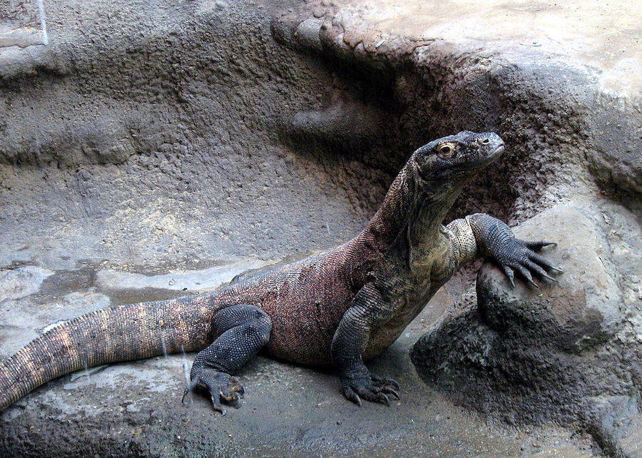 Komodo Dragon In A  Zoo