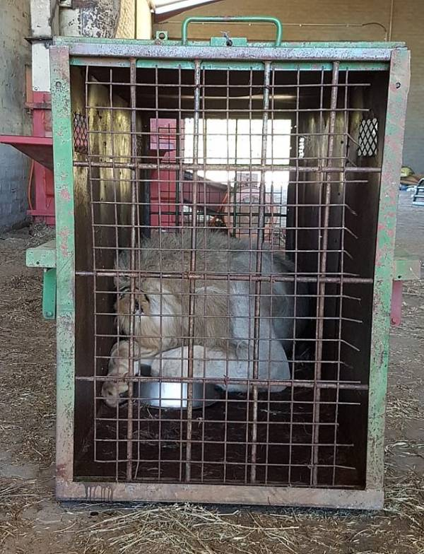 Lion Asleep In Steel Transport Cage