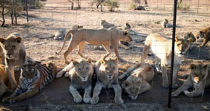 lions-held-captive.jpg
