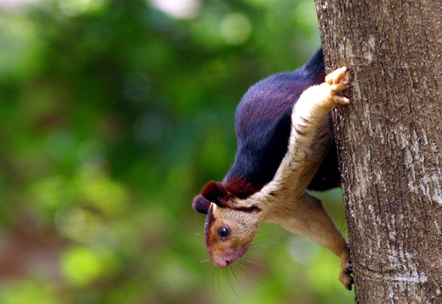 Malabar Squirrel Peeking