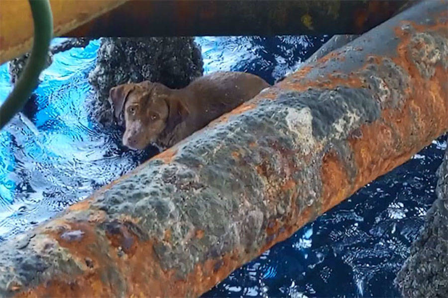 Oil Rig Dog Mid Rescue