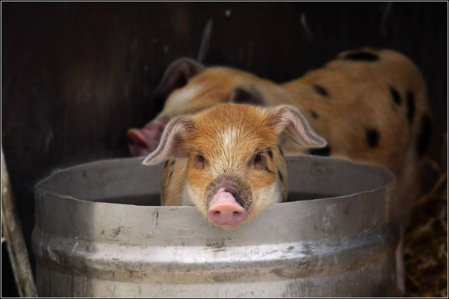 Pig In Bucket