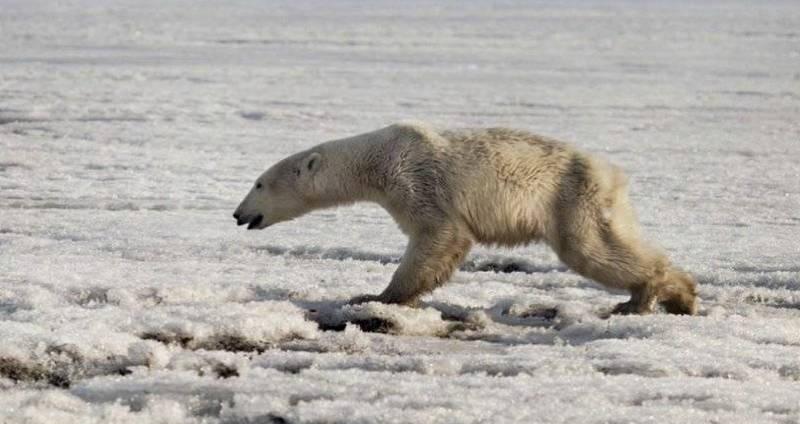tired-polar-bear-in-russia.jpg