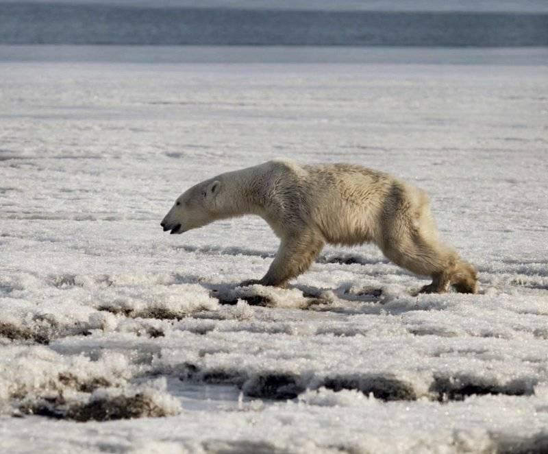 Tired Polar Bear In Russia
