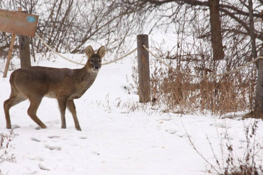 Water Deer In The Snow