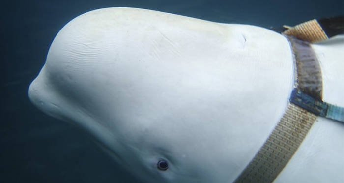 white-whale-in-russian-harness-closeup.jpg