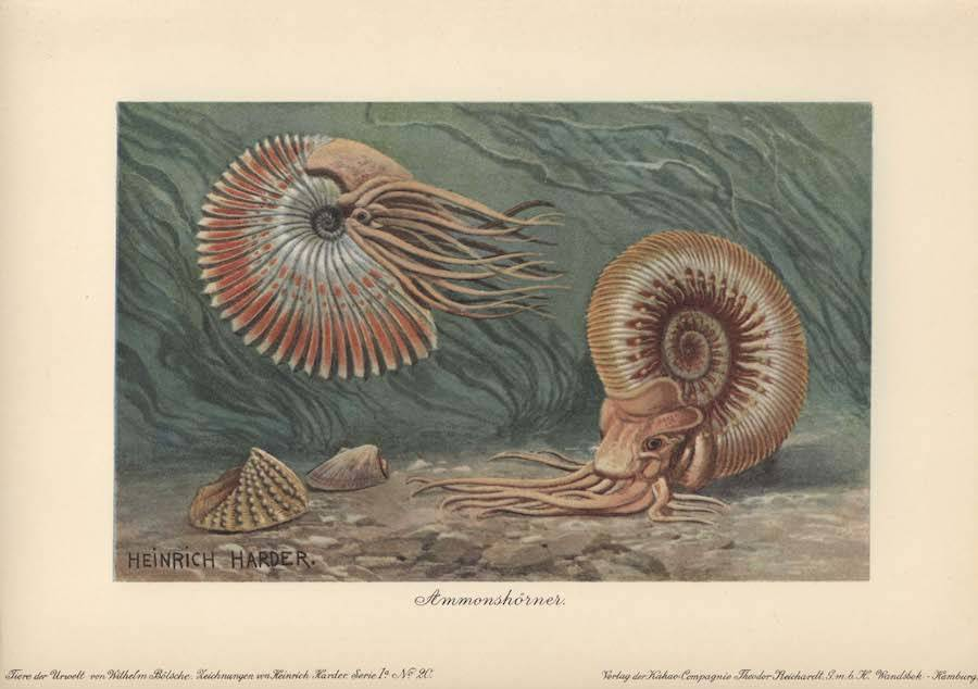 Ancient Ammonite Illustration