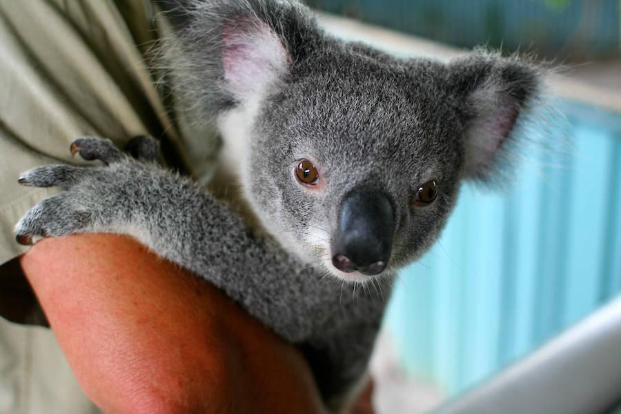 Baby Koala Hangs On Persons Arm