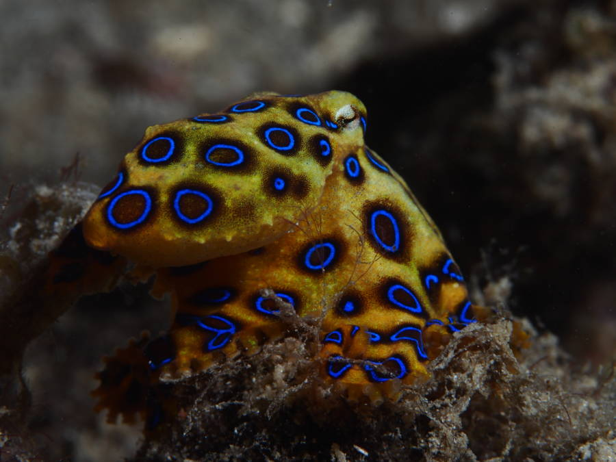 Blue Ringed Octopus Trypophobia Pattern