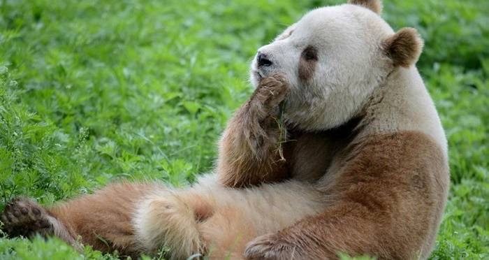 Image result for albino panda