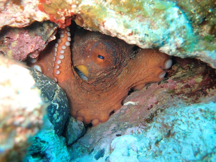 Common Octopus In Crete