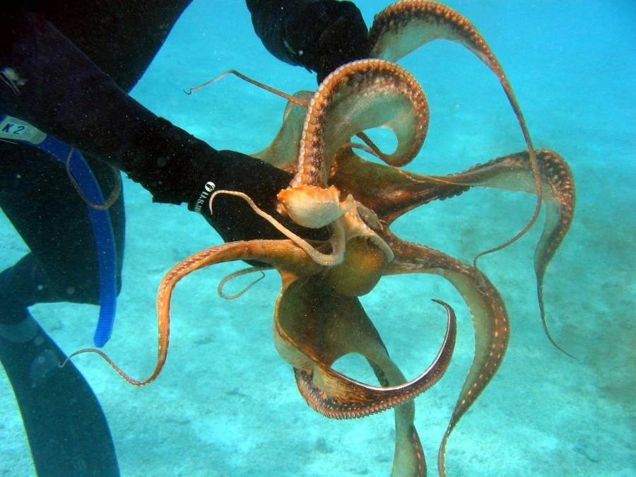 Diver Grabbing Octopus