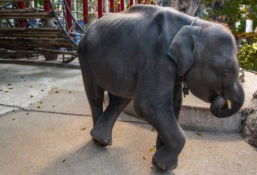 Dumbo The Baby Elephant