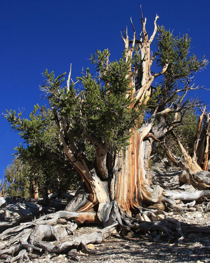 Grove Of The Methuselah Tree