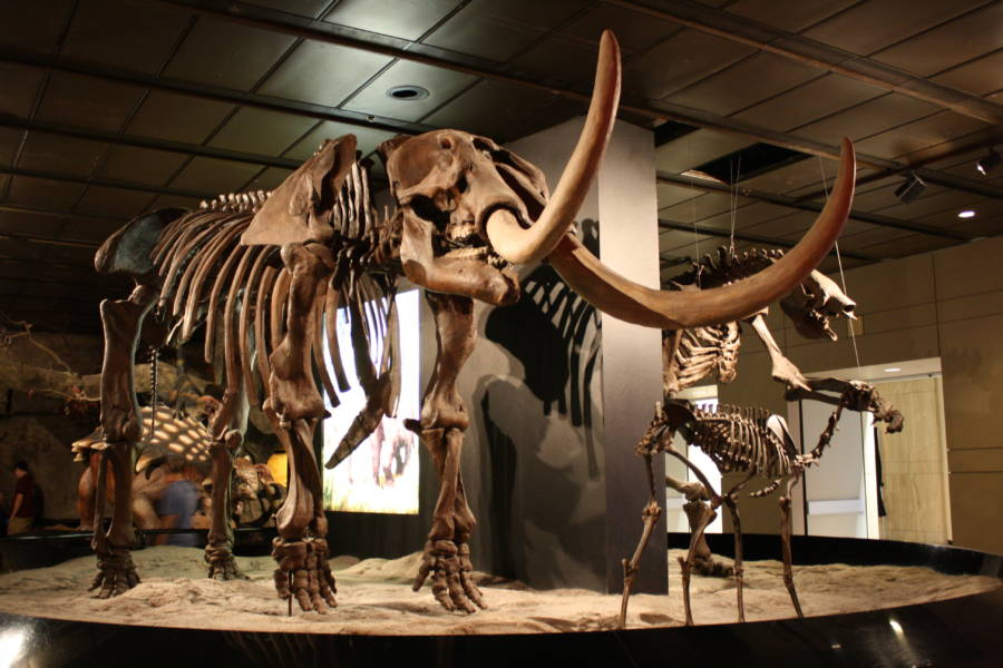 Mastodon Skeleton On Display