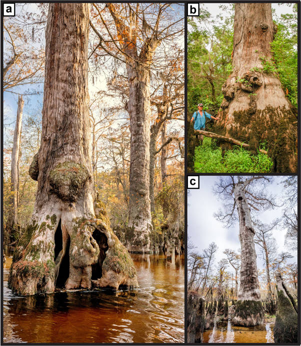 Oldest Cypress Tree In The World