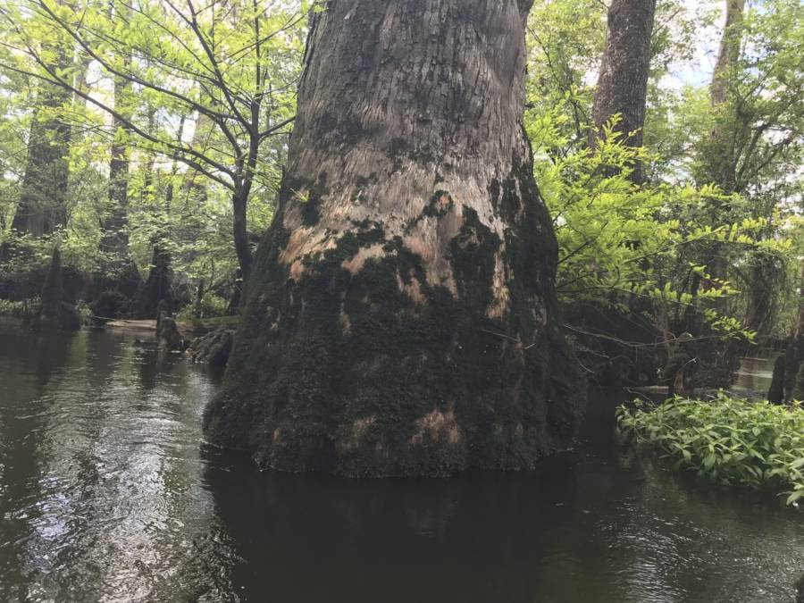 Oldest Tree On Earth In Black River