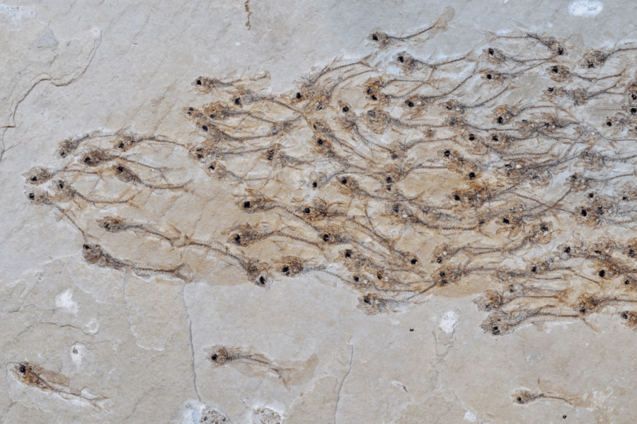 School Of Fish Fossil Closeup