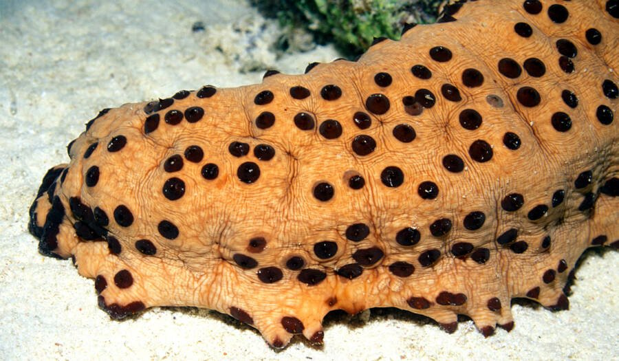 Sea Cucumber Trypophobia
