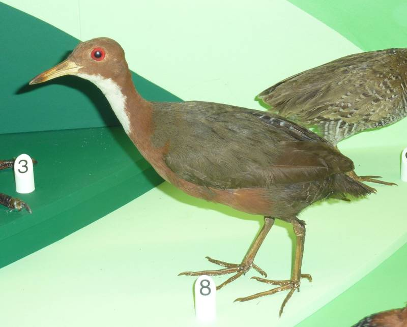 White-Throated Rail Bird