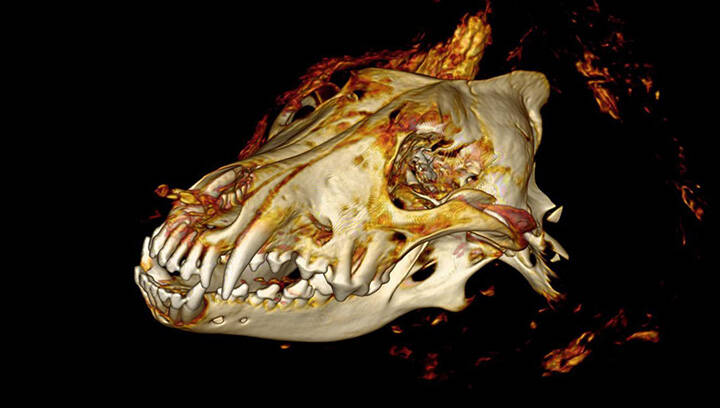 CT Scan Ancient Wolf Head