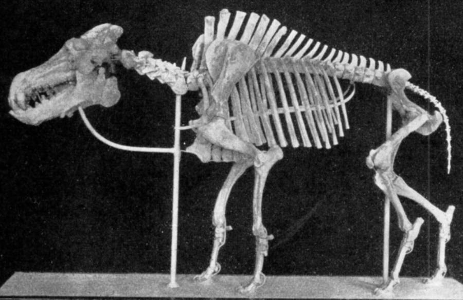 Daeodon Skeleton
