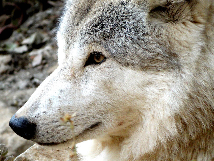 4bb6c960a0fdf Giant 40,000-Year-Old Head Of Ancient Wolf Found In Siberian Permafrost