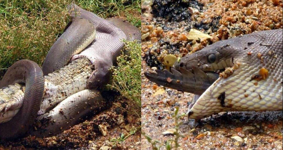 Huge Olive Python Swallows A Crocodile Whole In Australia