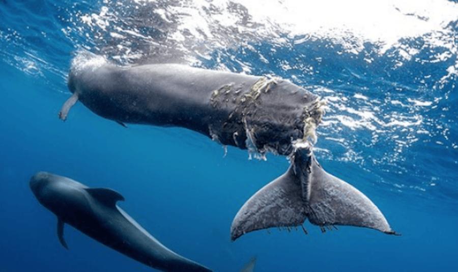Maimed Whale
