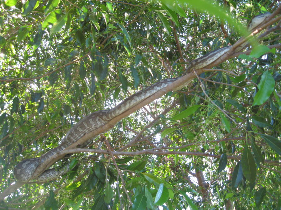 Olive Python In A Tree
