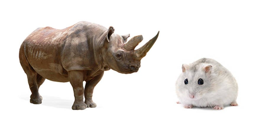 Rhino Vs Gerbil White Background